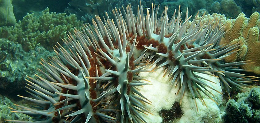 Integrated pest management of crown-of-thorns starfish on the GBR
